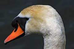 Close up profile of a mute swan`s head royalty free stock photography