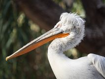 close-up of a profile pelican stock images