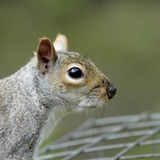 A close-up profile portrait of an adult Grey Squirrel (Sciurus carolinensis). Stock Photography