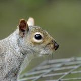 A close-up profile portrait of an adult Grey Squirrel (Sciurus carolinensis). Stock Photography