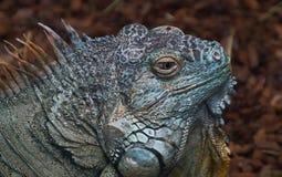 Iguana profile portrait. Close up profile portrait of adult iguana outdoors Stock Photo