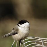 A close-up profile portrait of an adult Willow Tit (Parus montanus). Stock Photography