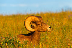 Close up Profile Portrait big Bighorn Sheep Ram. Close up landscape portrait of a Rocky Mountain Bighorn Sheep ram bedded down in deep grass. Ram bedded down on Royalty Free Stock Images