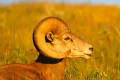 Close up Profile Portrait Bighorn Sheep Ram Stock Photos