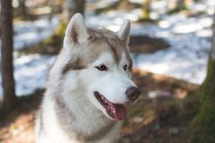 Close-up profile Portrait of friendly Beige and white Siberian Husky dog in spring season in the forest.  stock photo