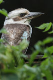 Close-up profile portrait of laughing kookaburra Royalty Free Stock Image