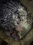 Porcupine. Close up profile portrait of prehensile-tailed porcupine Stock Photos