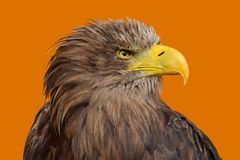 Close up profile portrait of white tailed eagle. Close up profile portrait of one white-tailed sea eagle Haliaeetus albicilla looking at camera over yellow Stock Photo