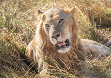 Close up profile portrait of young adult male lion with tall grass around his backlit head royalty free stock photography