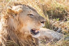 Close up profile portrait of young adult male lion with tall grass around his backlit head stock photography