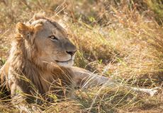 Close up profile portrait of young adult male lion with tall grass around his backlit head stock images