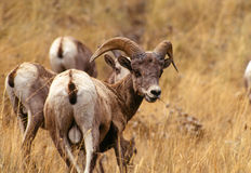Close up Profile Portrait Young Bighorn Sheep Ram Stock Photo