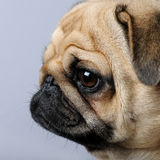 Close-up on a profile of a pug (3 years) Royalty Free Stock Images