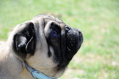 Close-up on a profile of a Pug - Mops Royalty Free Stock Image