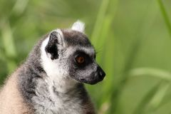 Close up profile of ring tailed lemur with grass background royalty free stock photography