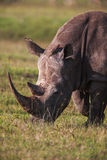 Close up profile white Rhinoceros, grazing in the wild. Royalty Free Stock Photography