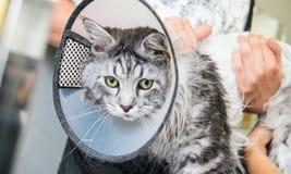 Close-up profissional de Maine Coon Cat Grooming imagem de stock