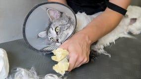 Close-up profissional de Maine Coon Cat Grooming imagens de stock