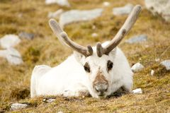 Close-up of prone reindeer staring at camera Royalty Free Stock Photos