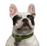 Close-up of a proud French Bulldog looking up Stock Photo