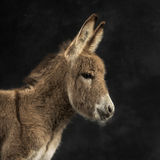 Close up of a provence donkey foal against black background Royalty Free Stock Photos