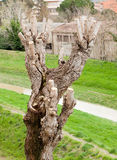 Close up of Pruned Tree Royalty Free Stock Photo