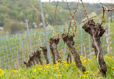 Close up of the pruned vine of grape vineyard Stock Photography