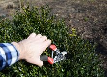 Pruning Boxwood Shrubs And The Best Time To Trim Boxwoods. Close up on Pruning Boxwood Shrubs And The Best Time To Trim Boxwoods Stock Images