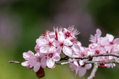 Close up of Prunus Cerasifera Pissardii blossom with pink flowers on blurred background. Close up of Prunus Cerasifera Pissardii cherry-plum tree blossom with royalty free stock photos