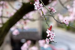 Close up of Prunus Cerasifera Pissardii blossom with pink flowers on blurred background. Close up of Prunus Cerasifera Pissardii cherry-plum tree blossom with stock photography