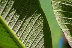 Close up of Pseudococcidae on green leaf. stock image