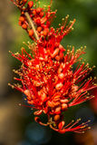 Close up Pterocarpus indicus red flower Royalty Free Stock Image