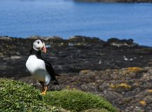 Close up of puffin on grass mound in Hebrides Stock Photo