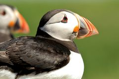 Close up of puffin royalty free stock image