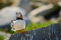 A close up of a puffin sitting on a rock Stock Photos