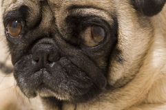 Close up of Pug Stock Images