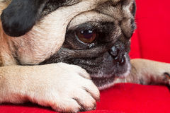 Close up of Pug Stock Photos