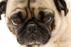 Close up of Pug. Against White Background Stock Photo