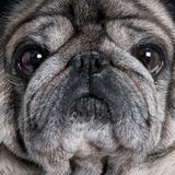 Close-up on a pug (8 years) stock image