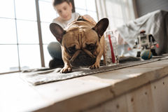 Close up of pug dog keeping his ears upright Stock Images