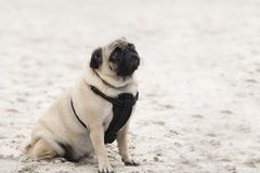 Close up on pug dog on sand, sad face Royalty Free Stock Images