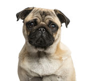 Close-up of a Pug Stock Photography