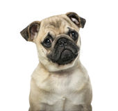 Close-up of a pug Royalty Free Stock Images