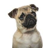 Close-up of a pug Royalty Free Stock Photos