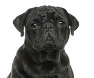 Close-up of a Pug looking sad, isolated Royalty Free Stock Photos