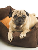 Close-up of Pug Royalty Free Stock Photography