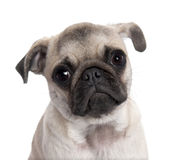 Close-up on a pug puppy (5 months old) Stock Photo