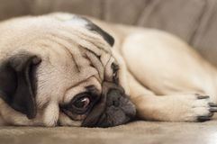 Close-up of pug puppy relaxing on sofa. With eyes looking back at viewer Royalty Free Stock Photo
