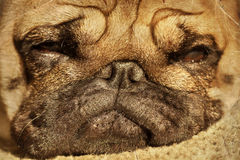 Close up of pug puppy sleeping in sunshine Stock Photography