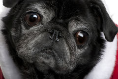 Close-up of Pug in Santa coat Royalty Free Stock Image